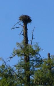 Klamath river osprey