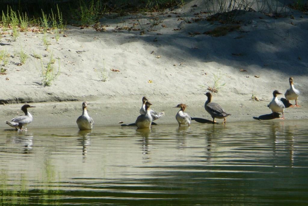 Klamath river ducks