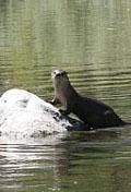 Klamath river otter