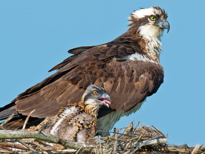 osprey-and-baby-in-nest