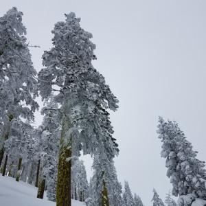 snowy-trees-2016